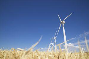 wind turbines in field of wheat